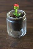 Mały kalanchoe homeplant w przejrzystym garnku Czerwony Kalanchoe kwiat Fotografia Royalty Free