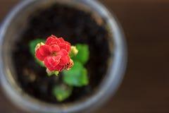 Mały kalanchoe homeplant w przejrzystym garnku Czerwony Kalanchoe kwiat Zdjęcie Royalty Free