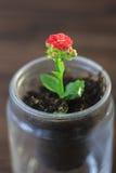 Mały kalanchoe homeplant w przejrzystym garnku Czerwony Kalanchoe kwiat Obrazy Stock