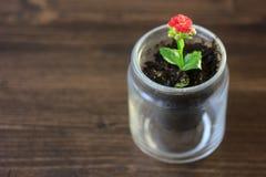 Mały kalanchoe homeplant w przejrzystym garnku Czerwony Kalanchoe kwiat Obraz Stock