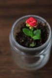 Mały kalanchoe homeplant w przejrzystym garnku Czerwony Kalanchoe kwiat Zdjęcia Royalty Free