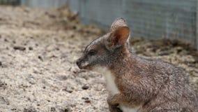 Mały kangura ziewanie w zoo zdjęcie wideo