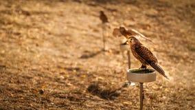 Mały kestrel ptak Obrazy Stock