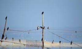 Mały kierdel kormorany siedzi na sieciach rybackich fotografia royalty free
