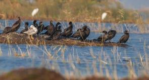 Mały kormoran z Seagull Fotografia Royalty Free