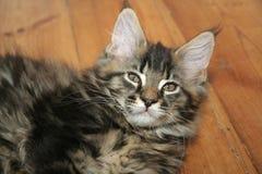 mały kotek Zdjęcie Royalty Free