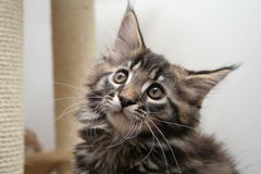 mały kotek Fotografia Royalty Free