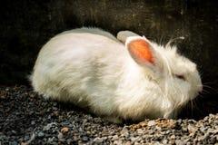 mały królik Zdjęcia Stock