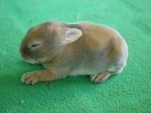 mały królik. Zdjęcie Royalty Free