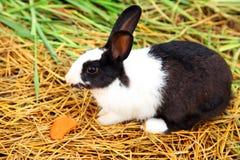 Mały królik je marchewki Zdjęcie Royalty Free
