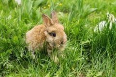 Mały królik z mlekiem na jego wargach na zielonej trawie Fotografia Royalty Free