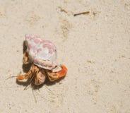 mały kraba eremita Zdjęcia Royalty Free