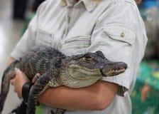 Mały krokodyl przy gada przedstawieniem Zdjęcia Stock