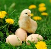 Mały kurczak na trawie Zdjęcia Stock