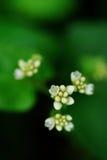 mały kwiatu biel Fotografia Stock