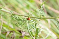 Mały ladybird Fotografia Royalty Free
