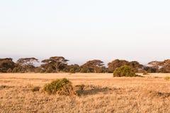 Mały las w sawannie Amboseli Kenja, Afryka Zdjęcie Stock