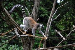 Mały lemur na arkanie w zoo Fotografia Royalty Free