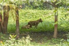 Mały lew Cubs zdjęcie stock