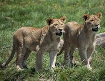 Mały lew Cubs Zdjęcia Royalty Free