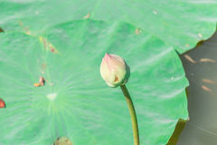 mały lotosowy kwiat Obrazy Stock