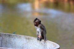 mały makak Zdjęcie Stock