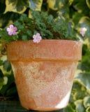 Mały menchia kwiat na glinianym garnku Obraz Royalty Free