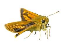 Mały motyl 16 (Augeades) Obrazy Stock