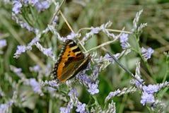 mały motyl tortoiseshell Obrazy Stock