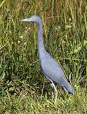 mały niebieski heron Fotografia Royalty Free