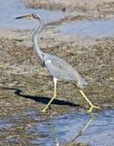 mały niebieski heron obraz stock