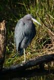 mały niebieski heron Zdjęcia Stock