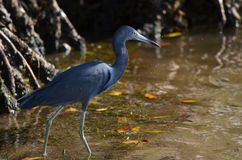 mały niebieski heron Obrazy Stock