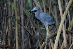 mały niebieski heron Obrazy Royalty Free