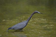 mały niebieski heron Zdjęcia Royalty Free
