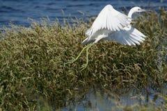 mały niebieski heron z fotografia royalty free