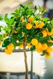 Mały ornamentacyjny tangerine drzewo Fotografia Royalty Free