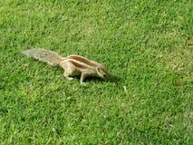 Mały pasiasty chipmunk w trawie Zdjęcia Stock