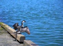 Mały pied kormoranu ptak Zdjęcia Royalty Free