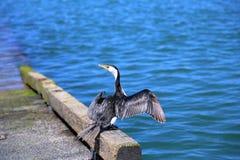 Mały pied kormoranu ptak Fotografia Royalty Free