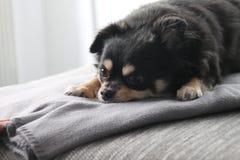 mały pies Zdjęcie Royalty Free
