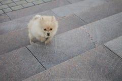 Mały pies biega na schodkach Obrazy Royalty Free