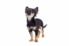 mały pies chihuahua Zdjęcia Royalty Free