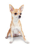 mały pies chihuahua Fotografia Stock