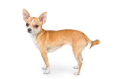 mały pies chihuahua Obraz Royalty Free
