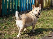Mały pies dla spaceru Zdjęcia Royalty Free