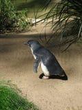 mały pingwin Fotografia Royalty Free