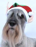 mały pomagiera schnauzer s Santa Fotografia Stock