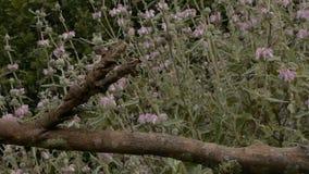 Mały pospolity kameleon zbiory wideo