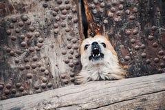 Mały psi szczekanie Fotografia Royalty Free